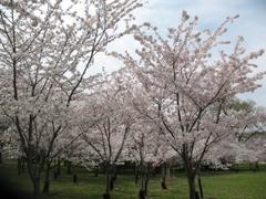 Blossoms1